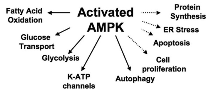 AMPK Activated Actions Diagram